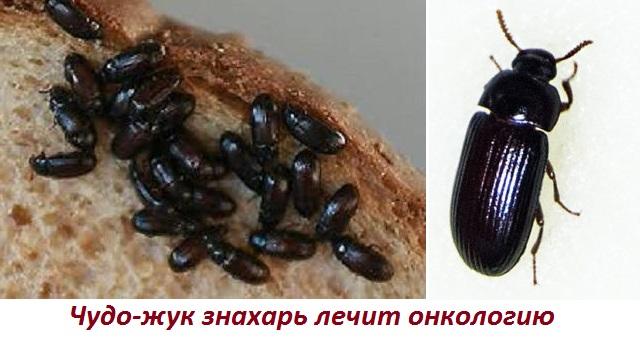 Жуки знахари лечебные свойства от рака