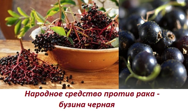 Ягоды бузина черная лечебные свойства от рака