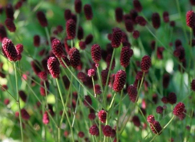 Трава кровохлебка в гинекологии