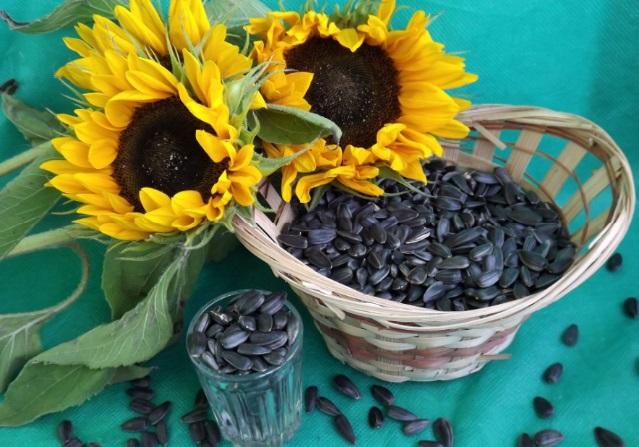 Семена подсолнуха лечение сахарным диабетом